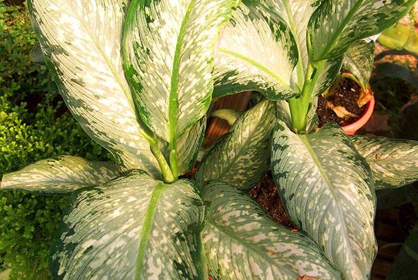 Широкие листки цветка диффенбахия