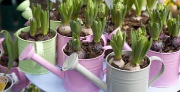 Уход за гиацинтами после цветения