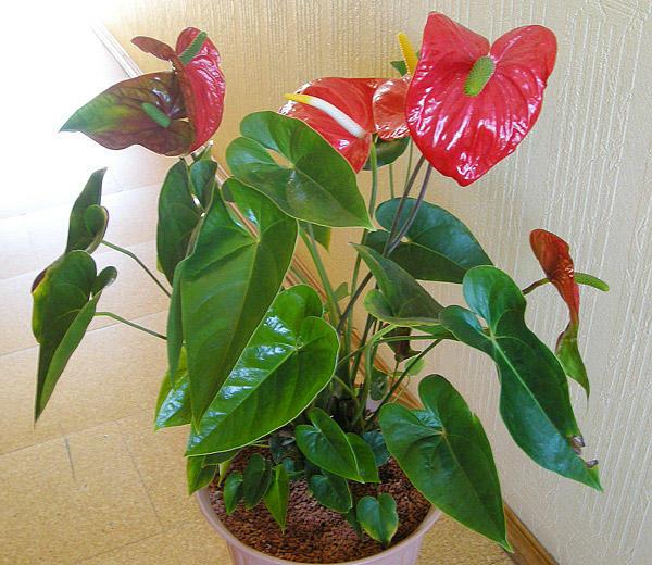 Антуриум: пересадка в домашних условиях цветка