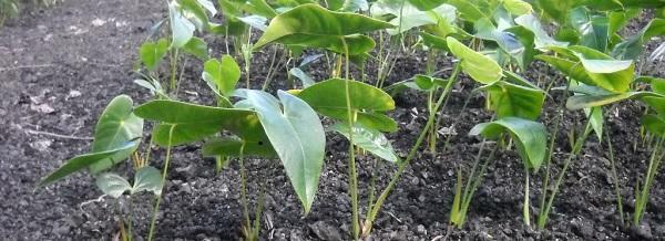 Антуриум, растущий на грунте