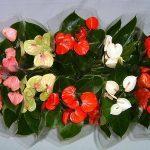 Разноцветные цветы антуриума