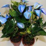 Голубые цветы антуриума