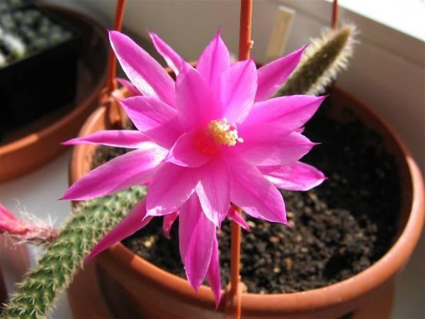 Цветок кактуса в доме