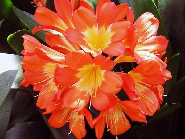 Цветок комнатного растения кливии