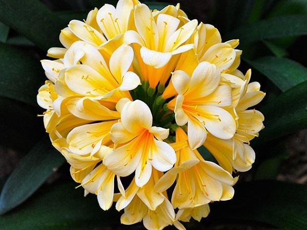 Желтые цветы домашнего растения кливия