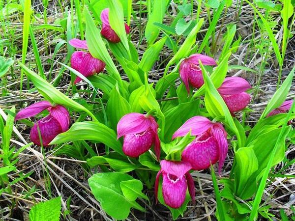 Орхидеи, растущие в саду