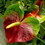 Красный цветок антуриума