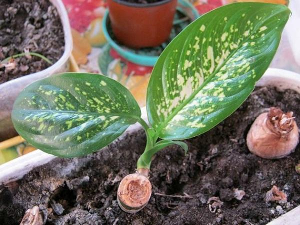 Маленькие листочки растения диффенбахия