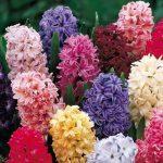 Распустившиеся цветы гиацинта