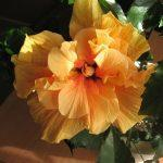 Желтый цветок китайской розы