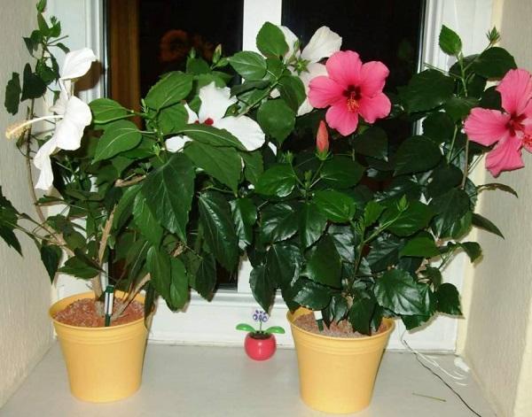 Цветы гибискуса в горшках
