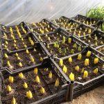 Луковицы гиацинта в лотках