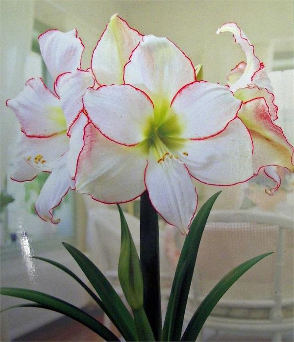 Белые цветы гиппеаструма
