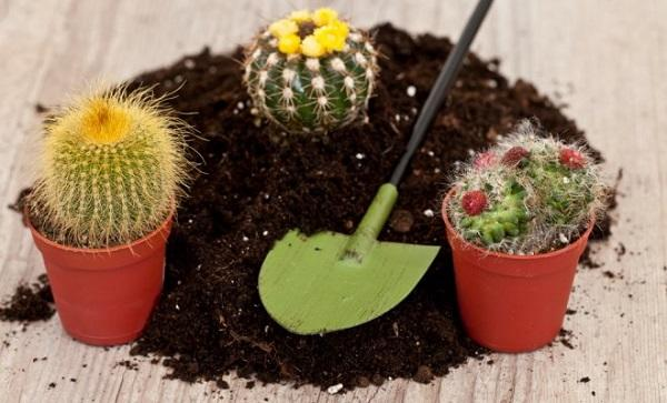 Как пересадить кактус в домашних условиях