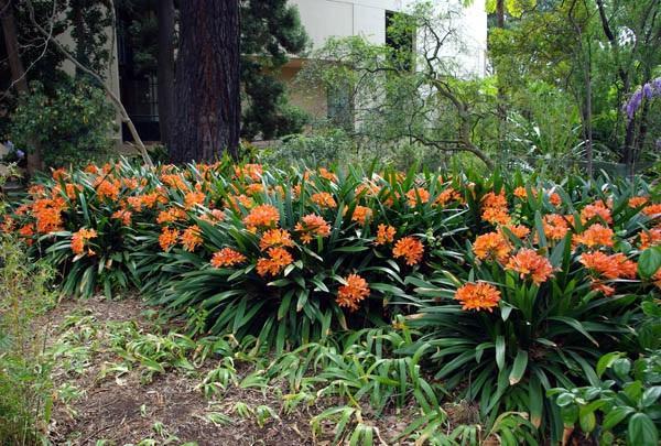 Кливия, растущая в природных условиях