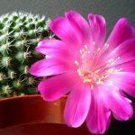 Розовый цветок кактуса в горшке