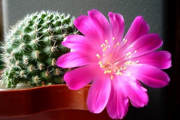 Цветуций кактус в горшке