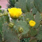 Цветущий кактус в природе