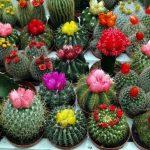 Разноцветные цветы кактусов