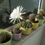 Белый цветок кактуса на окне