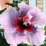 Сиреневый цветок китайской розы
