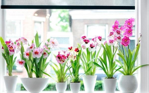 Орхидеи в горшках на подоконнике