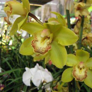 Желтая орхидея в оранжерее
