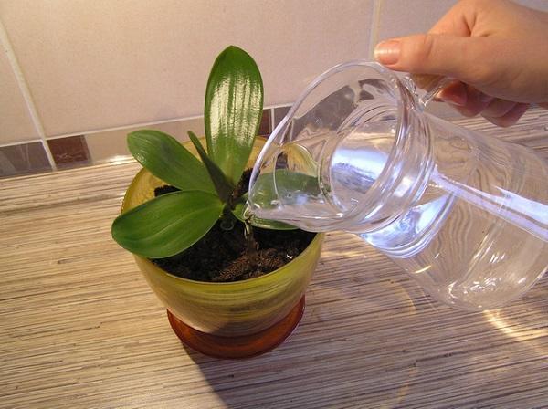 Орхидею поливают из кувшина