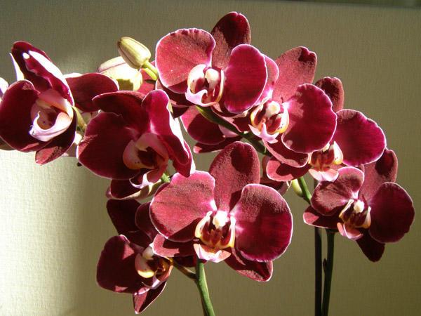 Цветки орхидеи красного цвета