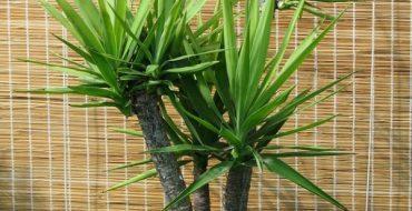 Комнатное растение Юкка в горшке