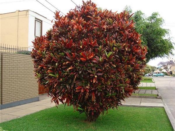 Дерево кротона в естественных условиях