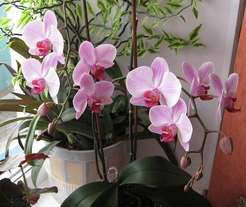 Розовая орхидея в горшке