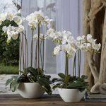 Белые орхидеи в горшках дома