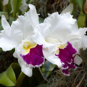 Белые цветы орхидеи