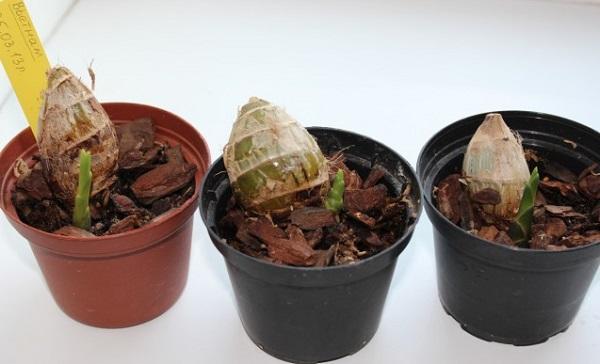 Луковицы орхидеи в горшках