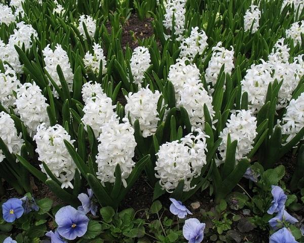 Белые цветы гиацинта