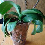Домашняя орхидея в горшке