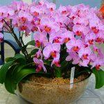 Орхидея в вазоне дома