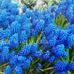 Голубые цветы гиацинта в саду