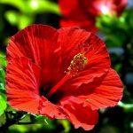 Красный цвет китайской розы