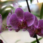 Сиреневый цветок орхидеи