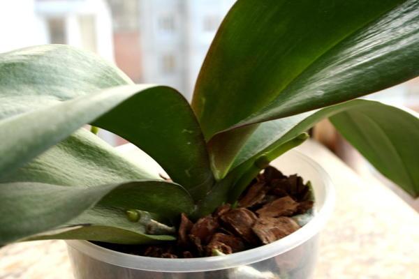 Орхидея пускает листья и корни но не цветет