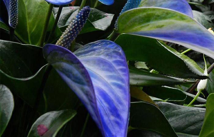 Цветы антуриума голубого цвета