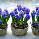 Цветы гиацинты в горшках