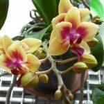 Цветы орхидеи дома