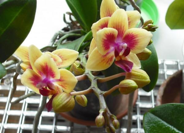 Почему не цветет орхидея: основные причины