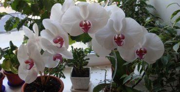 Орхидея в горшке на окне