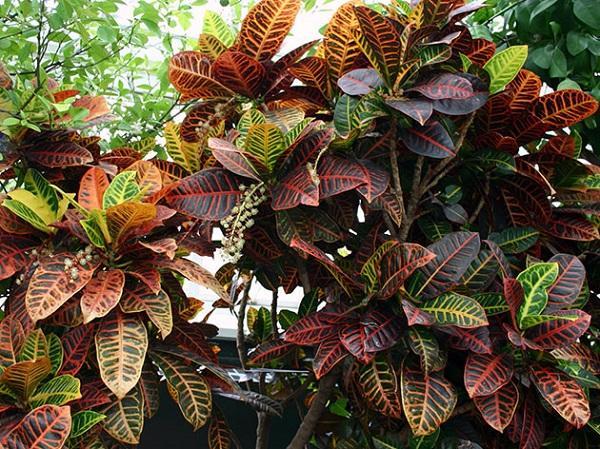 Листва кодиеума, растущего в природе