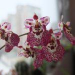 Розовые цветки орхидеи в крапинку