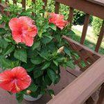 Растение китайская роза на балконе